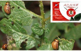 Hur man odlar Apaches från Colorado potatisbaggen
