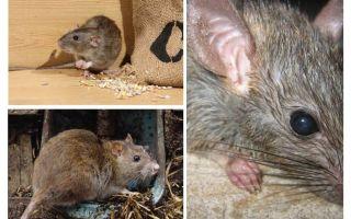 Kan råttor attackera människor