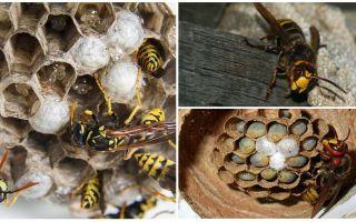 Hur man tar bort hornets boet