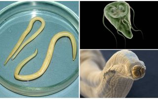 Jämförelse av Giardia och Worms