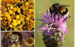 Har honung humpar