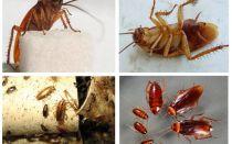 Hur kackerlackor ser ut, deras foton, typer och beskrivning