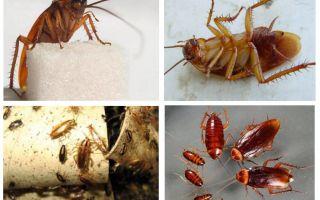 Röd kackerlacka prusak och hur man blir av med den