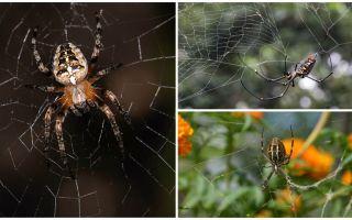 Vet spindlarna hur man ska flyga