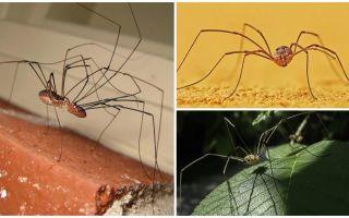 Spindel klippa med långa tunna ben