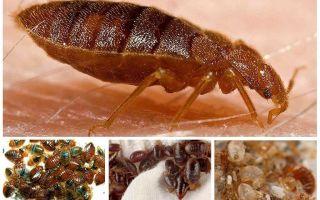 Kackerlackor äter buggar