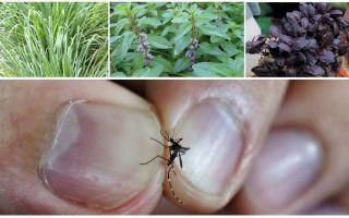 Vilka växter avvisar myggor: gräs, träd och blommor