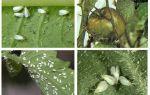 Metoder att hantera whitefly på tomater i växthuset