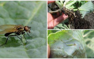 Hur man hanterar en kålfluga och dess larver