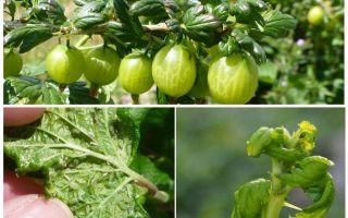 Hur bli av med bladlus på krusbär