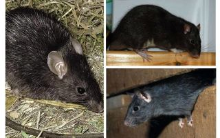 Svarta råttor