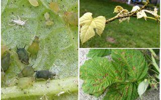 Hur bli av med bladlöss på hallon