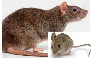 Vad är skillnaden mellan en mus och en råtta?