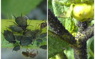 Hur man hanterar svarta bladlus på tomater och gurkor