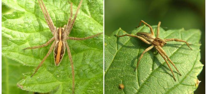 Beskrivning och bilder av spindlarna i Saratovregionen
