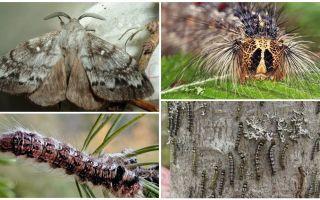 Beskrivning och foto av en larv och fjäril av den sibiriska silkesmasken