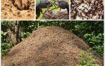 Myrans liv i en anthill