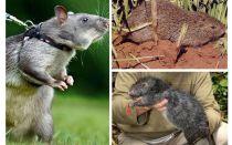 De största råttorna i världen