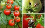 Hur man behandlar tomater från Colorado potatisbaggen