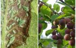 Hur och vad man ska bearbeta bladlus på plommon