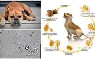 Symptom och behandling av Giardia hos hundar