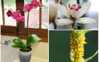 Hur man hanterar bladlöss på orkidéer