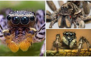 Hur många ögon har en spindel?