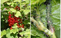 Hur bli av med bladlöss på vinbär