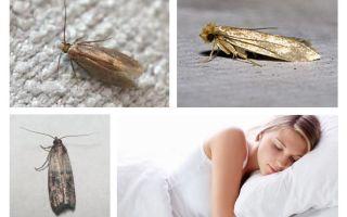 Vad drömmar moth