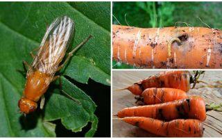 Hur bli av med morotflugor