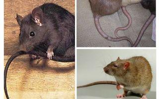 Varför råttor svansar
