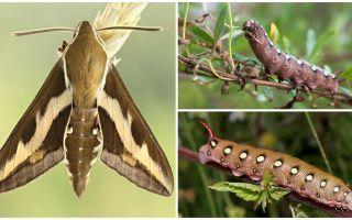 Beskrivning och foto av caterpillar vinhökmoth