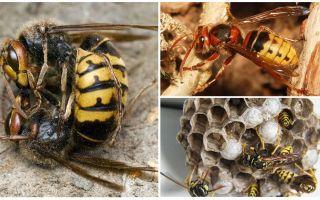 Hur man hanterar hornets
