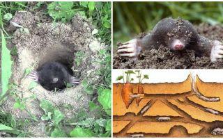 Beskrivning och bilder av mole mol