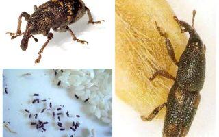 Rice weevil - en skadlig plåga av spannmål