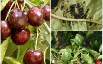 Hur bli av med bladlöss på körsbär och körsbär
