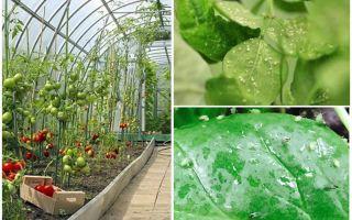 Hur hanterar bladlöss i växthuset