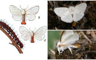 Beskrivning och foto av fjäril och larver