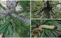 Hur och hur man bearbetar tall från larver
