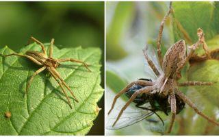 Hur många vanliga spindlar bor i en lägenhet och i naturen