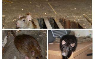 Så att fånga en råtta i huset