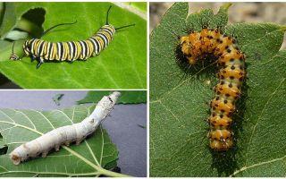 Beskrivning av larver, deras mat och struktur