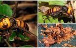 Stora Hornets: Jätteasiatiska och Svarta Hornets