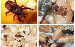 Hur man hanterar weevil i köket