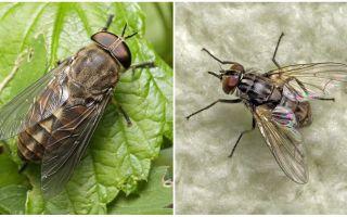 Beskrivning och foto biter flugor