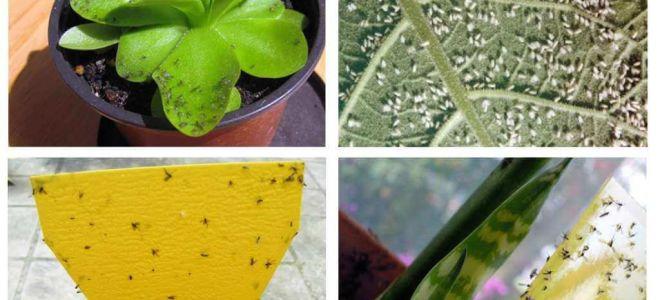 Hur man hanterar flugor i blomkrukor