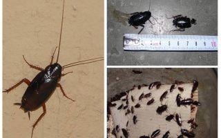Hur bli av med de stora svarta kackerlackorna i lägenheten
