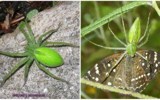 Gröna Spindlar i Ryssland