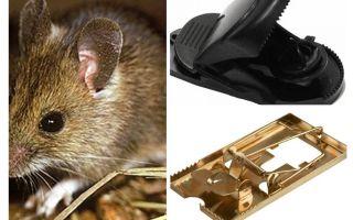 Hur man sätter en musefälla