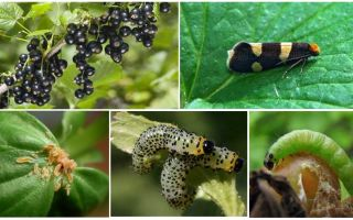 Hur bli av med larver på currants